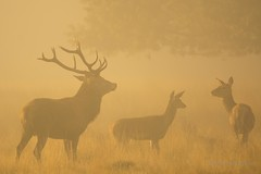 Red Deer - Richmond Park (PeterBrooksPhotography) Tags: uk autumn wild mist london forest season mammal nikon stag wildlife deer habitat reddeer richmondpark rut cervuselaphus peterbrooksphotography ©peterbrooks
