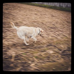 104/365 in velocità #365 #365project #speed #speedy #labrador #dog #doglover (Lorenzo Tombola) Tags: speed square labrador fuji retriever honey squareformat fujifilm 365 speedy x100 365project instagram x100s