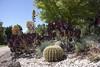 _MG_9600 (Sandra_Lee) Tags: cactus nature garden outdoors japanese spring maple sunny australia arboretum japanesemaple murdoch houseleek irishrose aeoniumarboreum elisabethmurdoch