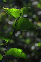 Green counterlight (jeangrgoire_marin) Tags: leaves green counter light translucid life