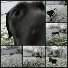 Snow Much Fun4 (annesstuff) Tags: annesstuff dog pet lab blacklab labradorretriever americanlabrador snow calgary alberta canada firstsnow