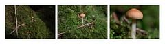 champignon (pertinal) Tags: triptyque champignon macro proxy foret mousse sousbois
