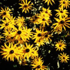 Goldsturm (Hkan Skog) Tags: dof colorefexpro rudbeckia flowers goldstar minoltaalf yellow analog garden
