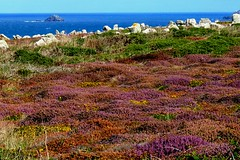 Colourful Heather at Land's End, Cornwall, England (Joseph Hollick) Tags: cornwall landsend flower heather england uk