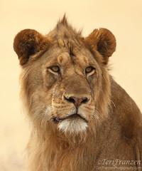 Young Lion Portrait (Explore 10/20/2016) (tkfranzen) Tags: bokeh lion africansafari africa tanzania canonwildlifephotography canon lenscoat serengeti serengetinationalpark summer2016 tnclivenature animalplanet wildlifephotography pantheraleo five bigfive
