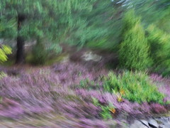 Ljung (evisdotter) Tags: ljung heater forest skog nature trees sooc colors movement icm intentionalcameramovement camerapainting