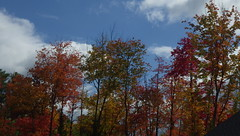 Finally a Mostly Blue Sky Day! IMGP6531 (catchesthelight) Tags: trees fall foliage fallfoliage leaves colorchange marsh marshmaples nh autumncolors autumn