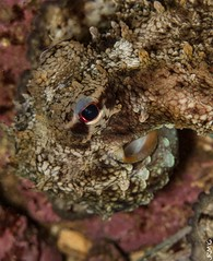 Pulpo (jaime.rodriguezmorante) Tags: underwaterphotography sea mar cantabria cantbrico octopus