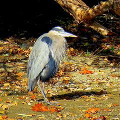 Great Blue Heron (Lois McNaught) Tags: greatblueheron heron bird avian nature wildlife autumn fall hamilton ontario canada