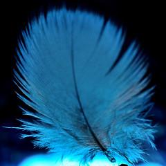 Macro Mondays backlit (PaulE1959) Tags: macromondaysbacklit macro feather blue