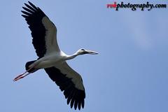 _DSC3510 (rvk82) Tags: 2016 birdsanctuary birds india nikkor200500mm nikon nikond500 october2016 photography rvk rvkphotography raghukumarphotography southindia tamilnadu vedanthangal vedanthangalbirdsanctuary wildlife rvkphotographycom in rvkonlinecom