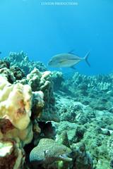IMG_0039 copy (Aaron Lynton) Tags: lyntonproductions scuba diving snorkel underwater maui hawaii onebreath turtle honu hawaiiangreenseaturtle hawaiian greenseaturtle seaturtle canon g1x