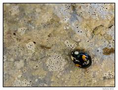 2016-06-26_Coccinelle-0003 (Hacheme 26) Tags: animaux coccinelle insecte natureetpaysages pierrelongue france