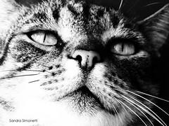 Il gatto vipera (sandra_simonetti88) Tags: gatto cat pet animal bn bw primopiano primissimopiano occhi eyes occhidigatto cateye cateyes