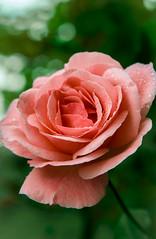 Gül (himmetyildirim) Tags: gül rose flower çiçek pembe yeşil nature natural doğa canon 6d 24105