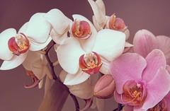 Orchids (marcelo.guerra.fotos) Tags: orchid orchids nature natureza flower flickr flora colorful colors fullcolor cool detail deep garden