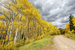 Golden Aspen in Colorado (Cathy Neth) Tags: 1424mm coppellphotographer dentonphotographer flowermoundphotographer flowermoundphotography highlandvillagephotographer lewisvillephotographer aspen aspentrees aspentreesinautumn aspentreesincolorado aspentreesinfall autumn autumnincolorado beautifulaspen beautifullandscapes bluesky cathyneth changingcolors circularpolarizer cnethphotography coloradolandscapes composition d810 fall fallcolors fallincolorado forest forestchangingcolors goldenaspen goldenaspentrees landscape landscapephotography landscapes leefilters modernphotographer modernphotography mountainphotography mountains nationalforest nature naturephotography naturesbeauty nikon nikond810 photography photos sanjuannationalforest tree treecolors treephotography treephotos trees yellowaspen