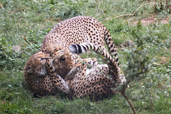 Cheetah fur pile (Cloudtail the Snow Leopard) Tags: gepard zoo landau tier animal mammal sugetier katze cat feline big gros raub cheetah acinonyx jubatus play playing spielen