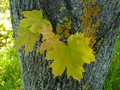 Belaubet ist der Walde (amras_de) Tags: ahorn acer javor lnslgten maple acero vaher astigar vaahterat rable mailp juhar hlynir klevas klavas esdoorn lnn lnneslekten klon bordo lnnslktet akaaga