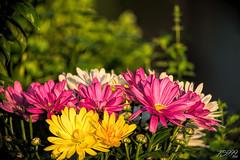 Evening Flowers (fs999) Tags: 200iso fs999 fschneider aficionados zinzins pentaxist pentaxian pentax k1 pentaxk1 fullframe justpentax flickrlovers ashotadayorso topqualityimage topqualityimageonly artcafe pentaxart corel paintshop paintshoppro x9ultimate paintshopprox9ultimate masterphotos fleur flower blume bloem macrolife macro makro hdpentaxda560mmf56edaw da560 hdda dc 560mm
