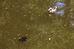 (spotboslow) Tags: mountauburncemetery cambridge watertown massachusetts frog tadpole mallard duck auburnlake