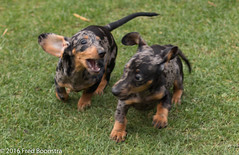 """Jetje"" chasing her brother ""Sam"" ! (A.J. Boonstra) Tags: brindleminiaturedachshund teckel dackel dachshund dapple getijgerdedwergteckel puppy canoneos canon70d canon ef50mmf14usm"