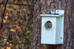 But Four? (Maggggie) Tags: squirrels 365 birdhouse nesting notforyou tree backyard nature