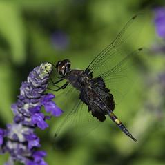 DragonFly_SAF7842-1 (sara97) Tags: dragonfly flyinginsect insect missouri mosquitohawk nature odonata outdoors photobysaraannefinke predator saintlouis towergrovepark copyright2016saraannefinke