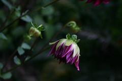 Shy Dahlia (Mohan S Bhat) Tags: dahlia purple bud flower petals bokeh depthoffield