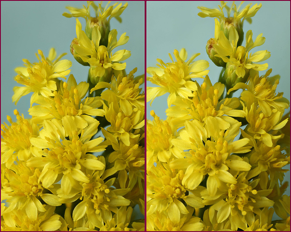 The worlds best photos of flower and statice flickr hive mind 3 d yellow statice flowers 1 lord v tags 3d macro mightylinksfo