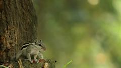 squirrel16 (press & pleasure - pap) Tags: bangladesh bangladeshi southasianlife dhaka asian asia