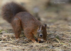 Formby Pinewoods 29 193 (Brian Gort Wildlife Photography) Tags: red squirrel formby pinewoods pine pinewood hazelnut hazel tree trusts trees trust trunk national naturallight autumn animal nikon nature natural native ngc catchlight colour colours colourful cream brown black brian bokeh buff beautiful wildlife wild white wood winter cash cashing nut manfrotto merseyside morning