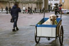 Parma è molto canina! (kwpacheco2) Tags: perro calzada persona caja ruedas calle labrador carretilla ciudad parma ducado