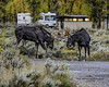 Two Young Bull Moose Sparing In The Campground (Hawg Wild Photography) Tags: moose wildlife nature animal animals grand teton tetons national park jacksonholewyoming terrygreen nikon nikond4s 70200mm vr hawg wild photography