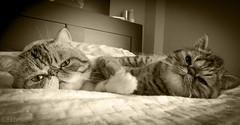 Mr. Elvis and Mrs. Xena (victoria@) Tags: exoticshorthair elvis xena princess cats mascotas