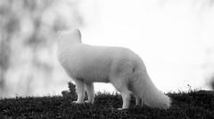 _DSC3914 (rick2907) Tags: artic fox