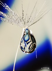 Sagging Downunder (Anne Rusten) Tags: nikon annerusten artistic art abstract droplet drop dandelionseed dandelion droplets dandelionart delicate drops water waterdroplet bright blue white cold indoor