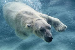 Home again (ucumari photography) Tags: ucumariphotography nikita polarbear ursusmaritimus oso bear animal mammal nc north carolina zoo osopolar ourspolaire oursblanc eisbär ísbjörn orsopolare полярныймедведь november 2016 dsc8645 specanimal 北極熊