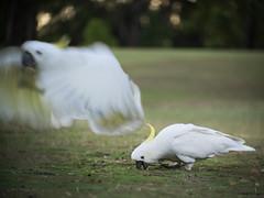 Cockatoos at Golf Course (Petra Ries Images) Tags: kakadu cockatoo bird birds kodakcineektanon102mmf27 white fly flyaway wings