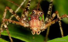 Katydid, Schedocentrus sp.? Tettigoniidae (Ecuador Megadiverso) Tags: andreaskay ecuador amazon book katydid orthoptera puyo schedocentrussp tettigoniidae