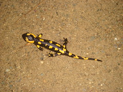 Slamander 2 - Pyrenees (Abbey_L) Tags: amphibian animal firesalamander france outbreakadventure pyrenees pyreneesoctober2009 pyreneesoctober2009day5restday salamander