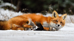 Just taking a break (Hanzy2012) Tags: ontario canada algonquinpark wildlife vulpesvulpes redfox nature wild