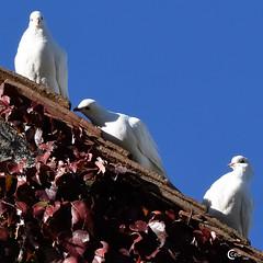 Colombes à Boutissaint (CCed 74) Tags: colombes boutissaint automne nièvre
