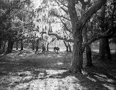 Horse & Moss (macromary) Tags: fomapan iso100 analog 120 120film mediumformat florida fortmccoy marion county griffinranch ranch marioncounty 105mm f24 pentax 6x7 farm horse spanishmoss oaks liveoaks