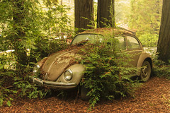 IMG_08654 Fahrvergngen (Glenn Gilbert) Tags: fahrvergngen volkswagen car auto automobile beetle smallcar forest trees abandoned overgrown california canon benlomond santacruz outdoor hazy morning leaves leaf
