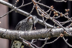 DSCN6394 (jinkemoole) Tags:   animal bird bulbul