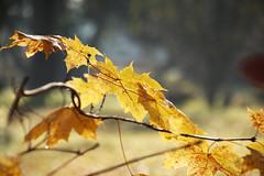 colours of autumn (karlmayer56) Tags: leaves herbstlaub bltter ahorn follaje gelb amarillo giallo yellowleaves bokeh