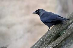 Jackdaw (Snails That Roar) Tags: corvid crow jackdaw birdwatching britishwildlife britishbirds nature wildlife colchester essex essexwildlife nikond3100 dslr 70300mmvr