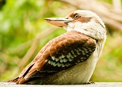 Laughing kookaburra (3 of 11) (Daniela Parra F.) Tags: kookaburra aves bird birds australia queensland birdsofaustralia wildlife wildbirds naturaleza nature silvestres avessilvestres