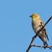 DSC_5293.jpg American Goldfinch, UCSC Farm